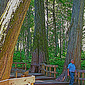 Giant Cedar Grove On Giant Cedars Trail In Mount Revelstoke Np-bc by Ruth Hager