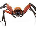 Giant Crab Spider Suriname by Piotr Naskrecki