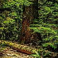 Giant Douglas Fir Trees Collection 3 by Roxy Hurtubise