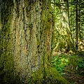 Giant Douglas Fir Trees Collection 5 by Roxy Hurtubise