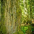 Giant Douglas Fir Trees Collection 6 by Roxy Hurtubise
