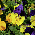 Giant Garden Pansies by Ed  Riche