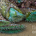 Giant Green Anemone by Em Witherspoon