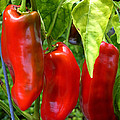 Giant Marconi Peppers