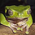 Giant Monkey Frog  Venezuela by Gerry Ellis