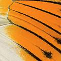 Giant Orange-tip Butterfly Wing Markings by Nigel Downer