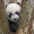 Giant Panda Cub Bifengxia Panda Base by Katherine Feng
