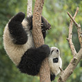 Giant Panda Cub In Tree Chengdu Sichuan by Katherine Feng