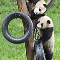 Giant Panda Cubs by John Shaw