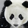 Giant Panda In Snow by Keren Su