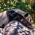Giant Panda by Steve Harrington