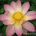 Giant Pink Lotus by Joshua Bales