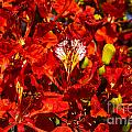 Giant Poinciana Blooms by Bob Phillips