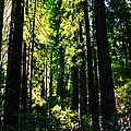 Giant Redwood Forest by Aidan Moran