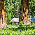 Giant Sequoia Trees In Yosemite by Pierre Leclerc Photography