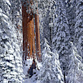 Giant Sequoia Trees Sequoiadendron by Panoramic Images