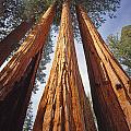 2m6833-giant Sequoias by Ed  Cooper Photography