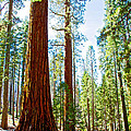 Giant Sequoias In Mariposa Grove In Yosemite National Park-california by Ruth Hager