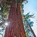 Giant Sequoias by John M Bailey