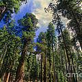 giant sequoias sequoiadendron gigantium yosemite NP by Dave Welling