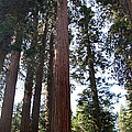 Giant Sequoias - Yosemite Park by Christiane Schulze Art And Photography