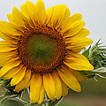 Giant Sunflower by Alan Hutchins