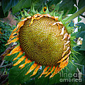 Giant Sunflower Drama by Carol Groenen