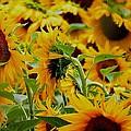 Giant Sunflowers by Nikki Keep