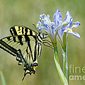 Giant Swallowtail Butterfly by Anthony Mercieca