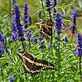 Giant Swallowtail Butterfly Couple by Karen Adams