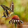 Giant Swallowtail Butterfly by Kathy Baccari