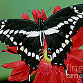 Giant Swallowtail Butterfly by Millard Sharp