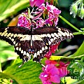 Giant Swallowtail by Marilyn Smith