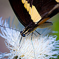 Giant Swallowtail by Melinda Fawver