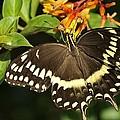 Giant Swallowtail On A Firebush by Bradford Martin