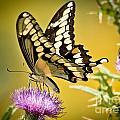 Giant Swallowtail On Thistle by Cheryl Baxter