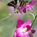Giant Swordtail Butterfly Graphium Androcles On Orchid by Robert Jensen