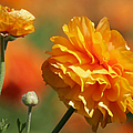 Giant Tecolote Ranunculus - Carlsbad Flower Fields Ca by Christine Till