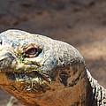 Giant Tortoise by Virginia Kay White