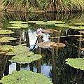 Giant Water Lilies by Zina Stromberg