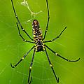 Giant Wood Orb Spider by Robert Jensen