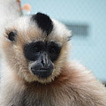 Gibbon by Jonathan Fly