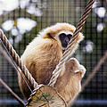 Gibbon On A Swing by Pati Photography