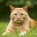 Ginger Cat In Garden by Jean-Michel Labat
