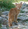 Ginger Cat  by Phil Banks