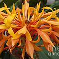 Ginger Flower by Darleen Stry