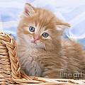 Ginger Kitten In Basket by John Daniels