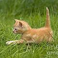Ginger Tabby Kitten by Jean-Michel Labat