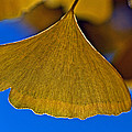 Gingko Leaf Losing Chlorophyll by Bill Owen