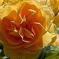 Ginny's Rose In The Sun by Christiane Schulze Art And Photography